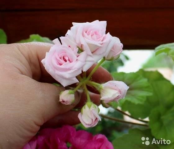 Изысканно цветущая пеларгония милфилд роуз с некапризным характером