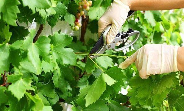 Чтобы грозди винограда созревали равномерно, а ягоды были сладкими, нужно обрывать листья: как правильно сделать это