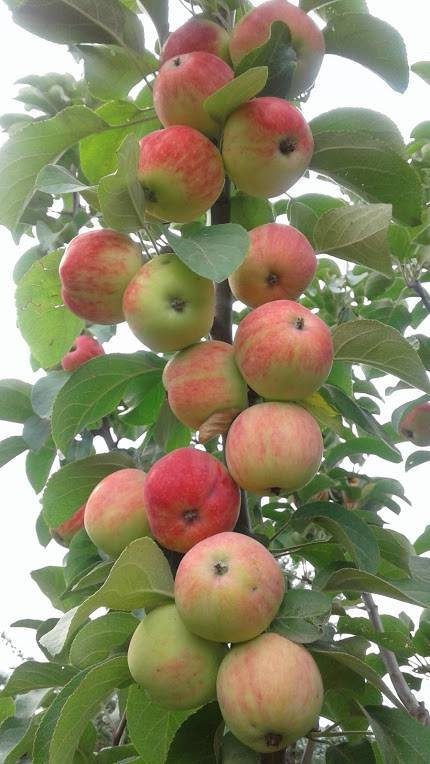 Сорта яблонь для урала