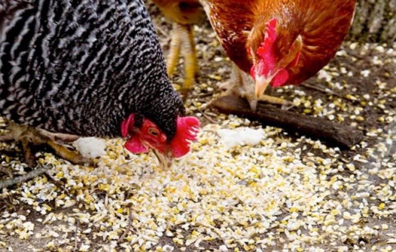 Почему цыплята могут клевать друг друга