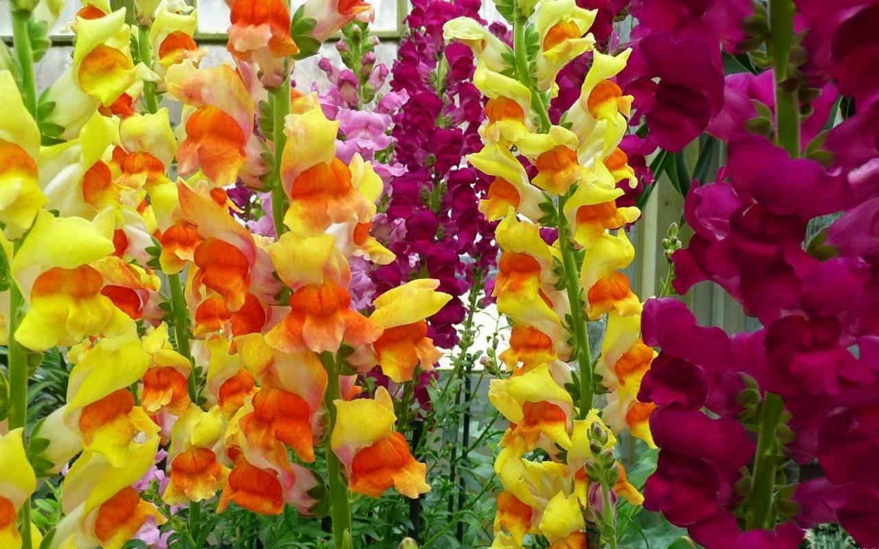 Гладиолусы – правильные подкормки для пышного цветения. чем подкормить гладиолусы (gladíolus)