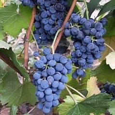 Виноград мукузани: описание сорта, характеристика и стандарт, как ухаживать