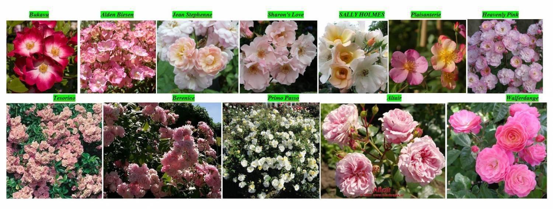 Сорта розы ругозы (описание и фото популярных культиваров)