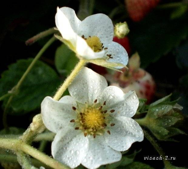 Почему клубника не плодоносит и не цветет