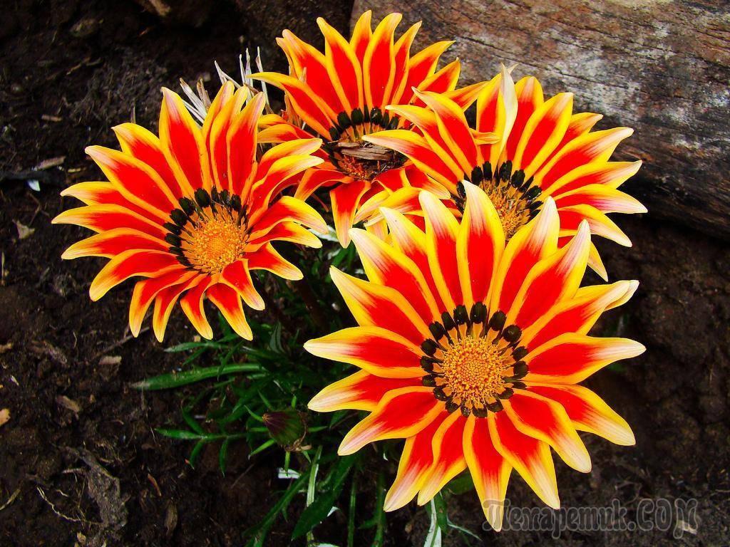Гацания - выращивание из семян, когда сажать и как ухаживать за всходами?
