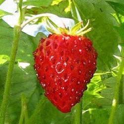 Полезные свойства ягод. когда созревает земляника? поспела ли земляника в лесу