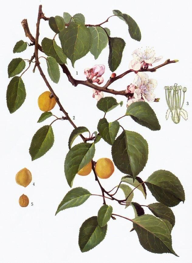 Описание маньчжурского абрикоса