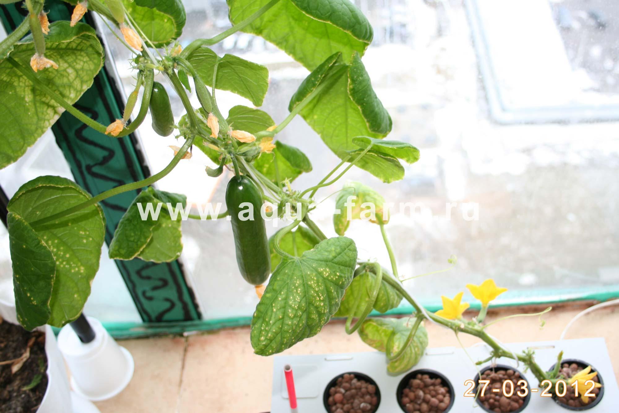 Выращивание огурцов в домашних условиях: пошаговая инструкция, секреты и технологии выращивания (120 фото + видео)