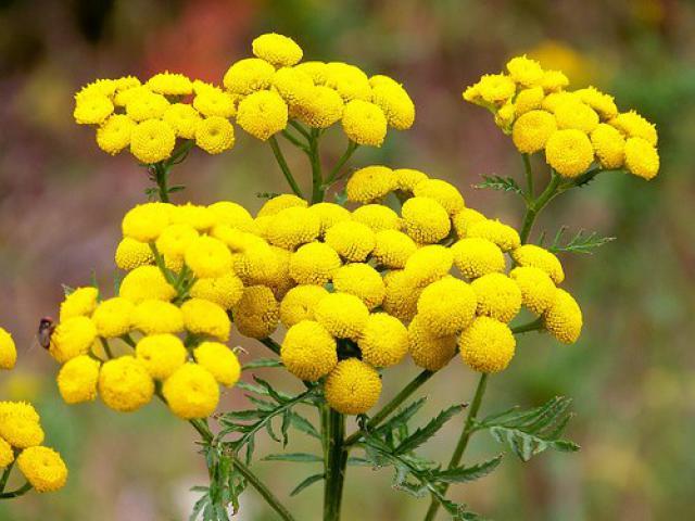 Пижма обыкновенная i целебные свойства растения