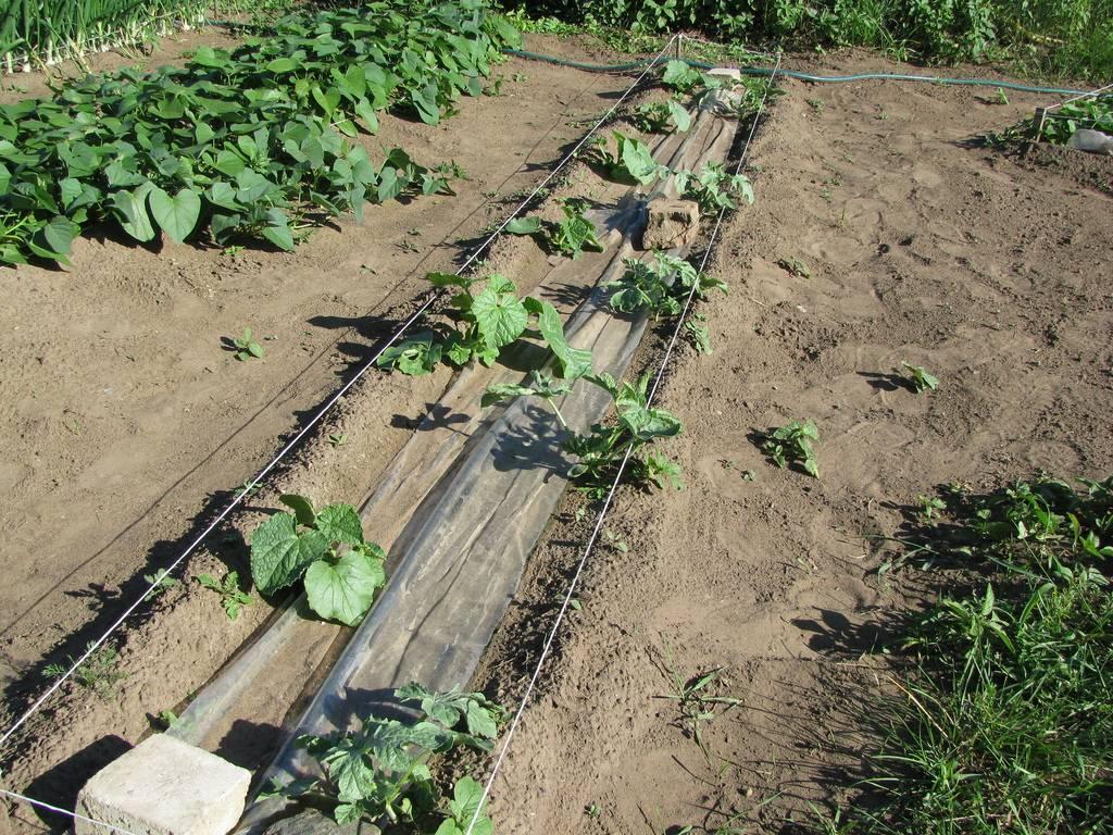 Как вырастить дыню в открытом грунте, теплице: посадка и уход