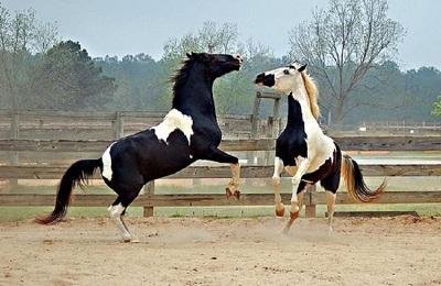 Масть лошади — википедия с видео // wiki 2