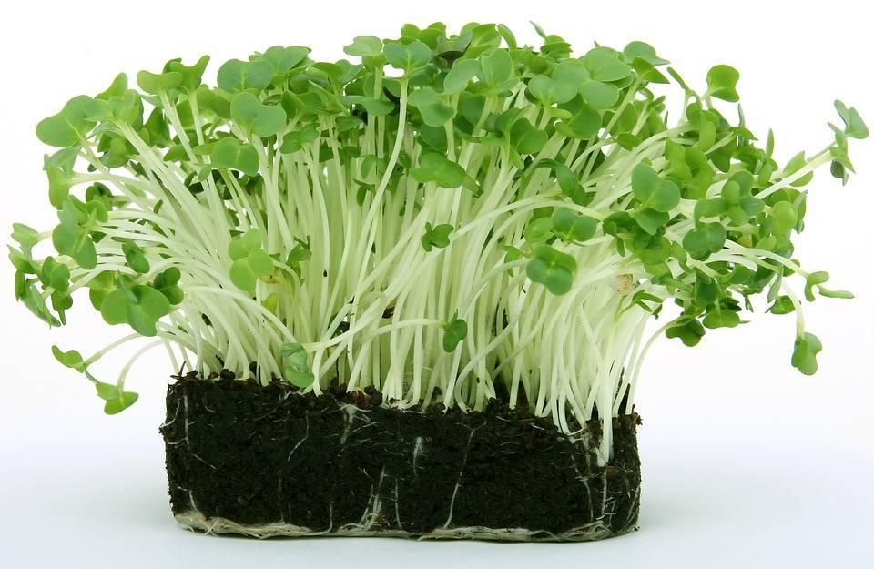 Кресс-салат — выращивание витаминной зелени круглый год