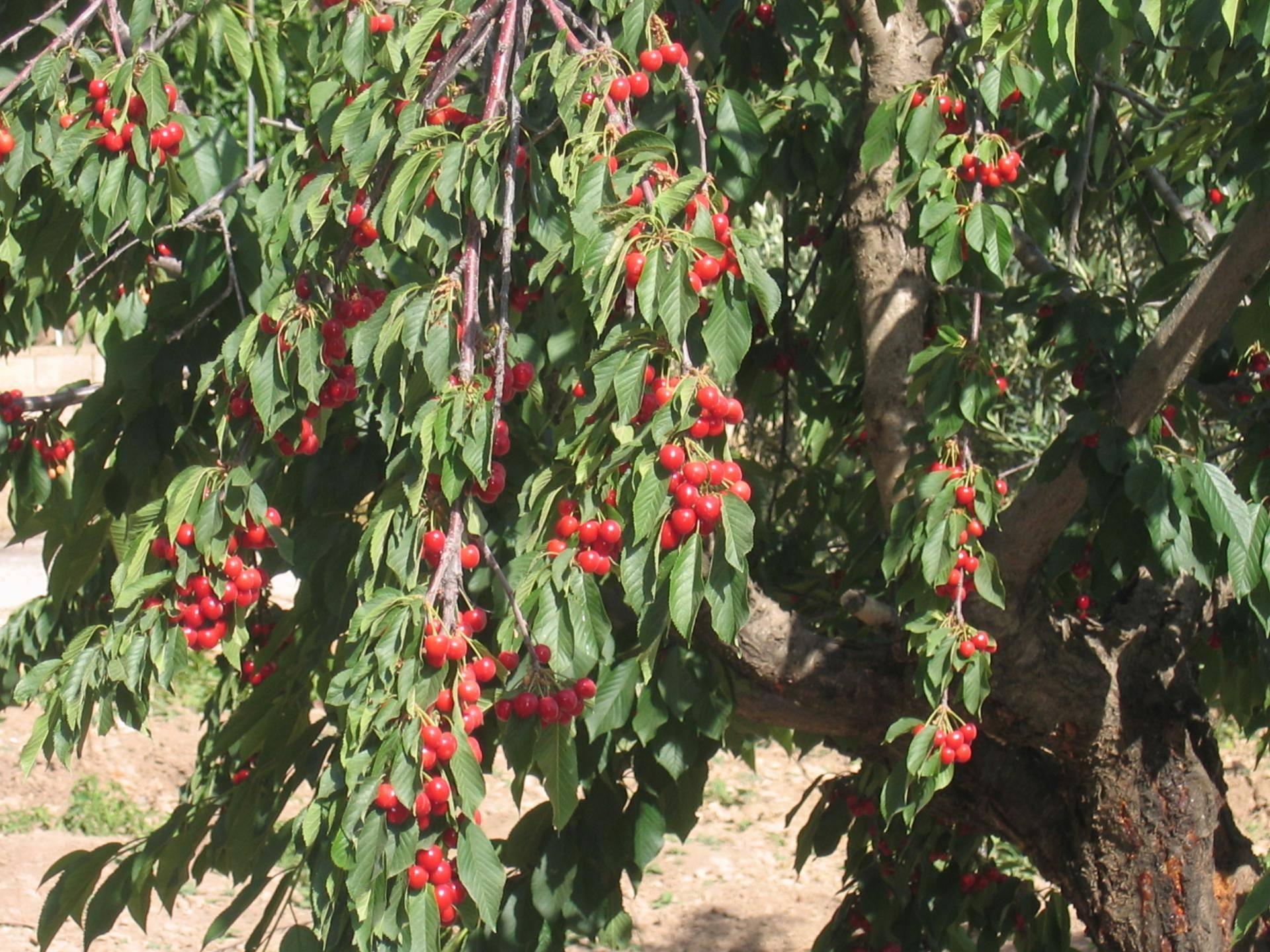 Почему скручиваются листья на яблоне