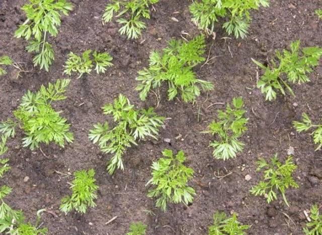 Морковь в гранулах: правильная посадка и уход в открытом грунте, через сколько дней всходят семена после посева, что делать, чтобы быстро взошли, почему не растут?