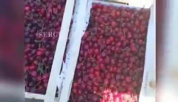 Когда поспевает черешня в узбекистане, когда начинается сезон черешни