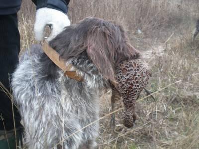 Как поймать фазана живым своими руками