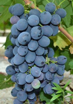 Сфинкс виноград
