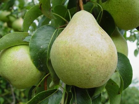 Груша сорта марта — описание и особенности выращивания на участке