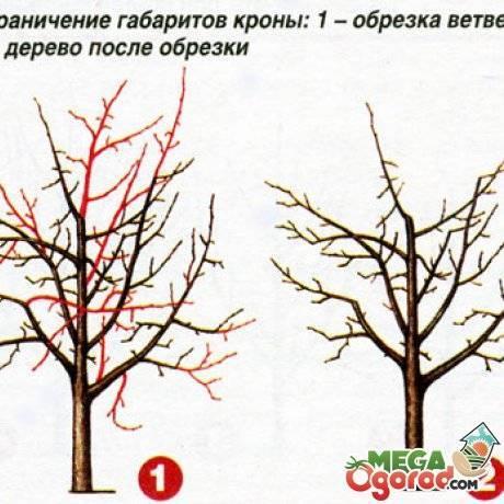 Секреты и схемы обрезки саженцев яблони