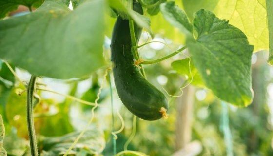 Почему огурцы растут кривыми: причины, как и чем подкормить