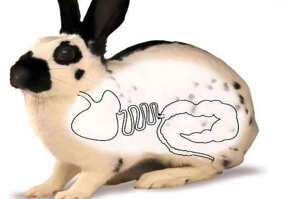 Желудочно-кишечный стаз у кроликов: все о причинах и лечении вздутия
