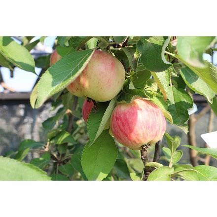 Колоновидная яблоня васюган — как выращивать плодовую культуру