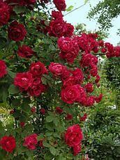 Плетистые розы :: энциклопедия роз