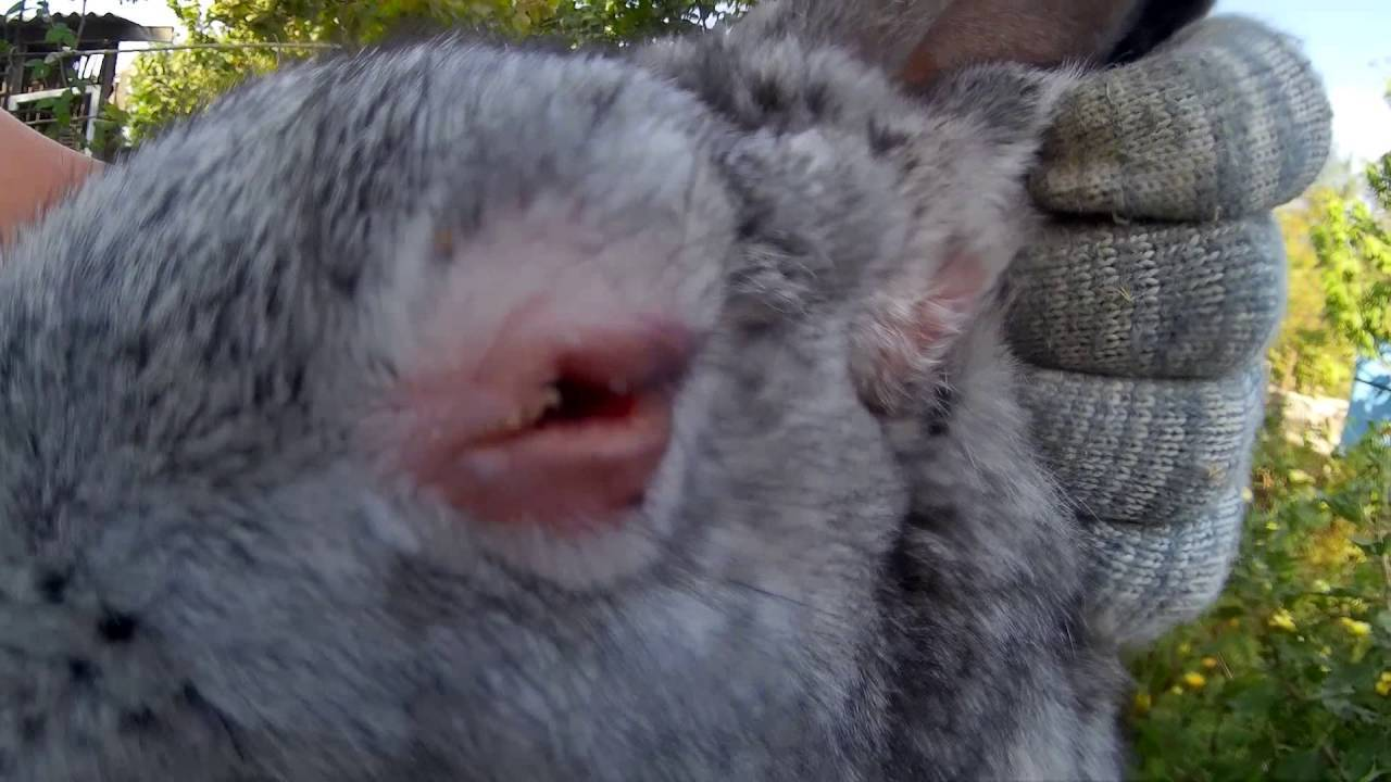 Болезни глаз у кроликов: что делать и чем лечить?