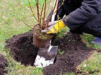 Как посадить черную смородину весной