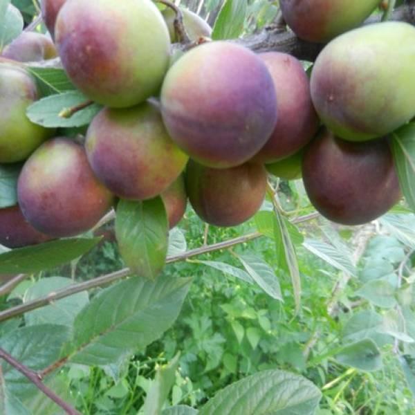 Гибрид вишни и сливы, отзывы и рекомендации