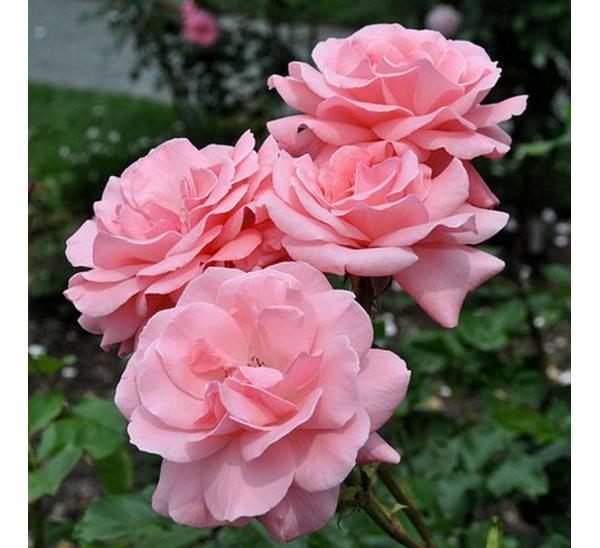 Роза квин элизабет — поясняем по порядку