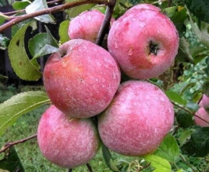 Характеристика и описание лобо яблони