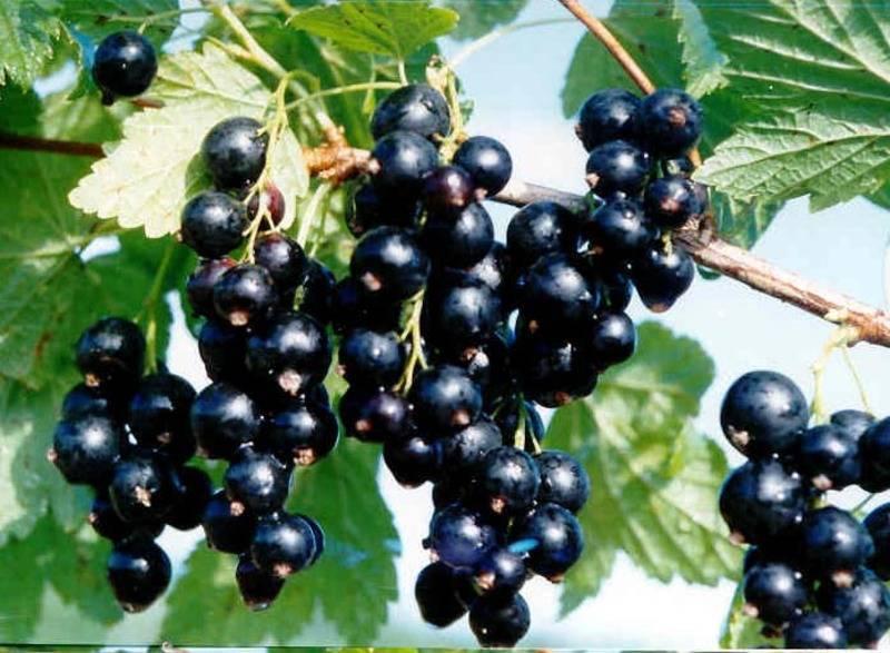 Смородина черная. полезные свойства. посадка и уход