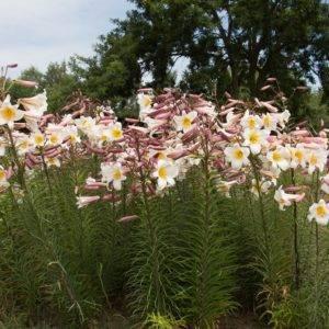 Лилия: фото и описание сортов и видов садовых цветов лилии