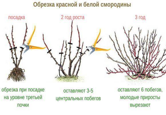 Правильная обрезка смородины весной – гарантия достойного урожая
