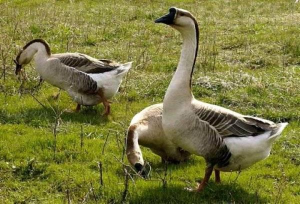 Особенности содержания и разведения губернаторских гусей
