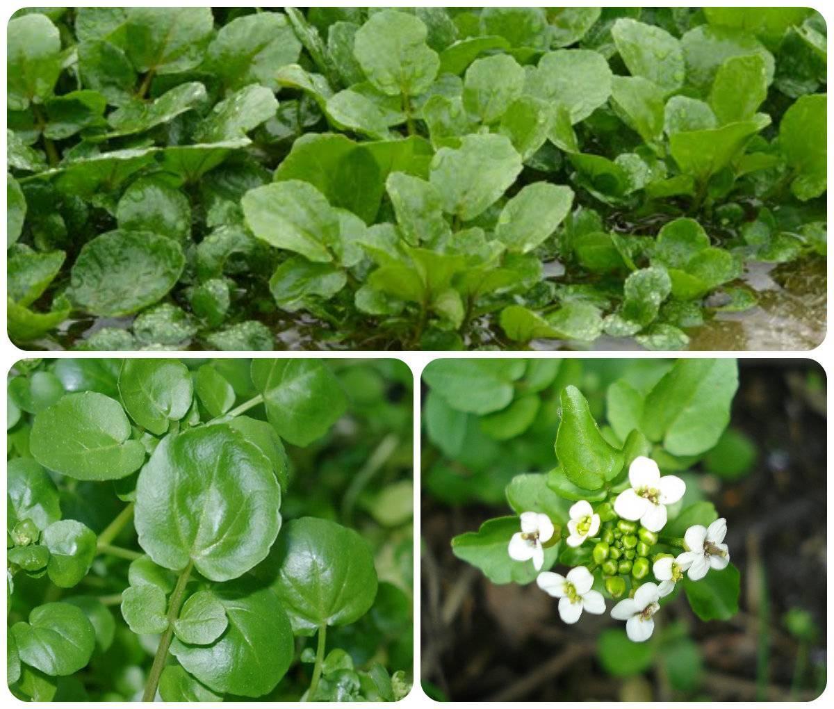 Кресс салат на подоконнике: как выращивать самостоятельно - 3 лучших способа!