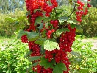 Какие плодовые деревья и кусты самоплодны, а каким нужна пара