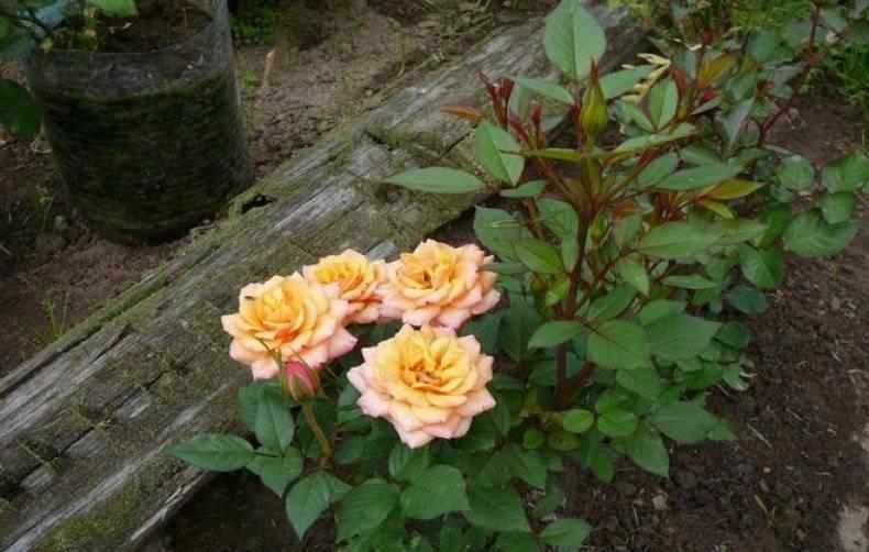 Розы кордана комнатная когда поливать