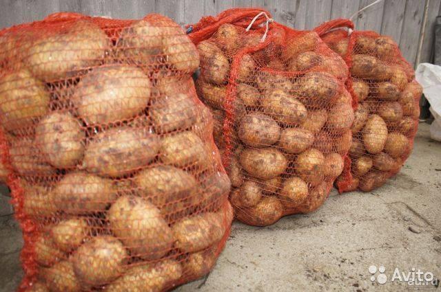 Картофель тулеевский: 8 особенностей и 10 советов по выращиванию и хранению