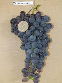 Сорта винограда для подмосковья для выращивания без теплицы