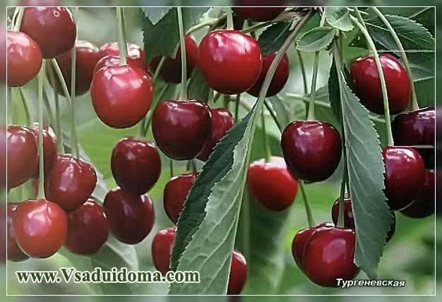 Посадка вишни весной саженцами - сроки и правила, подготовка ямы