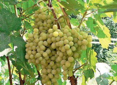 Правила посадки винограда черенками в открытый грунт
