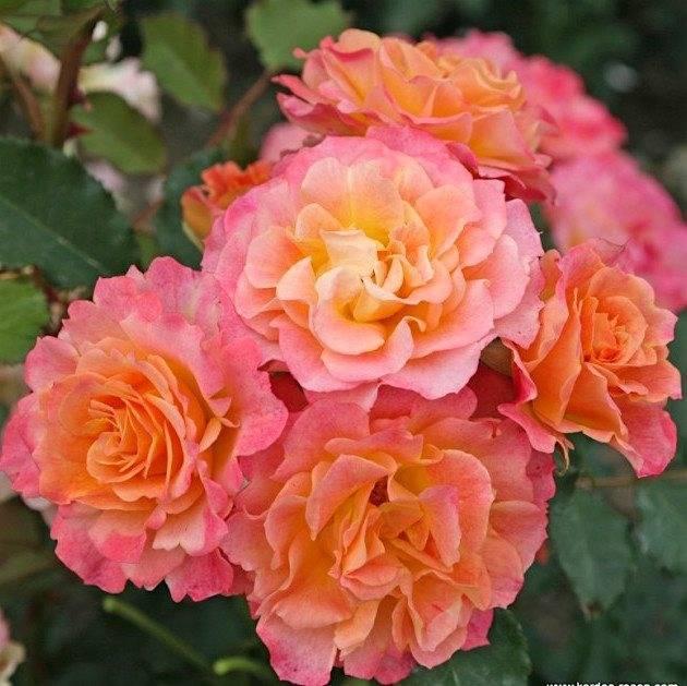 Лучшие сорта роз для подмосковья (48 фото): флорибунда и цветущие все лето почвопокровные сорта, особенности роз остина, плетистые зимостойкие сорта