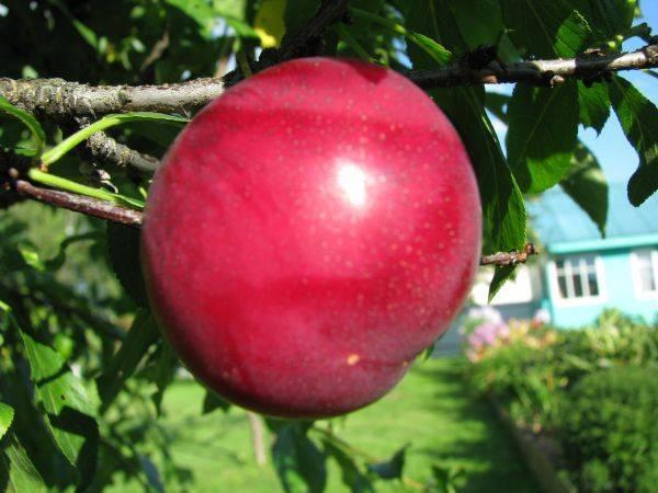 Самоплодная черешня – лучшие сорта для подмосковья