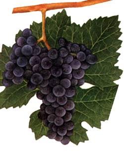 Виноград мерло: описание сорта, его характеристики и особенности, болезни и борьба с вредителями, фото