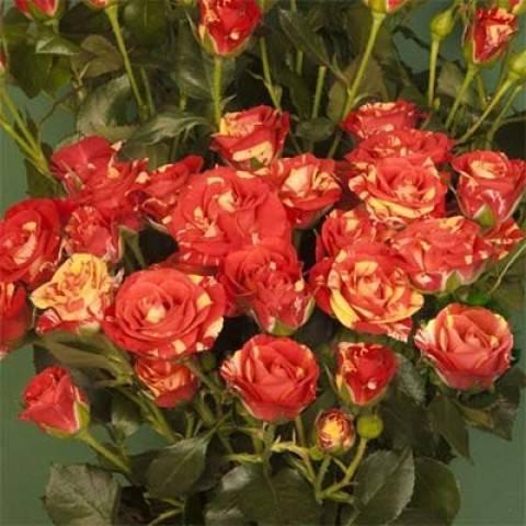 Роза аспирин роуз (aspirin rose): фото и описание, отзывы, размножение, посадка и уход