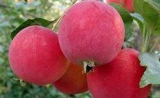 Описание сортов яблонь «краса свердловска» и «свердловская красавица» – в чём разница?