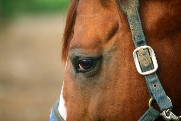 Шоры у лошадей