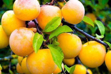Особенности выращивания и характеристика сорта сливы утро